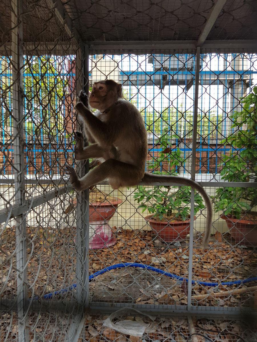 Hình ảnh: Cá thể Khỉ đuôi dài do người dân tự nguyện giao nộp đang được bảo quản tại Chi cục Kiểm lâm